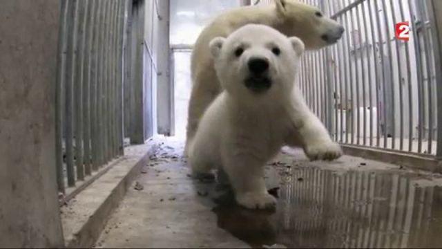 Ours polaire : une naissance exceptionnelle au zoo de Mulhouse