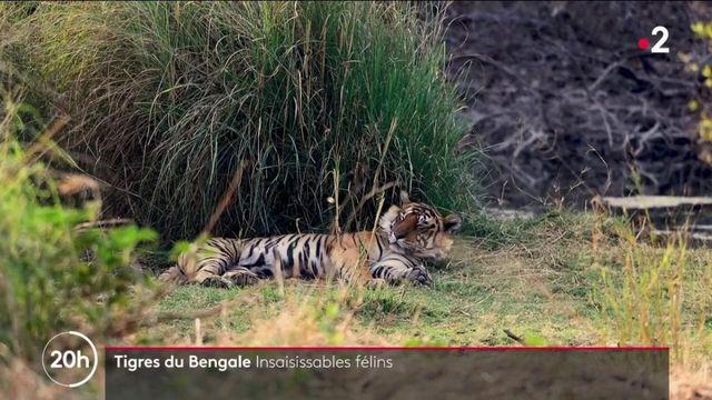 Inde : à la recherche des tigres du Bengale