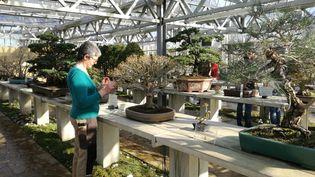 Catherine Nesa, responsable de la collection bonsaïs du département des Hauts-de-Seine, constate que les premiers pucerons sont arrivés, le 26 février 2019. (RADIO FRANCE / MARIE-JEANNE DELEPAUL)