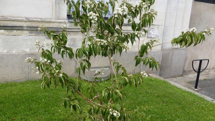 Originaire de Chine, l'Heptacodium miconioides est un super arbuste pour les abeilles. (ARBUSTICULTEURS)