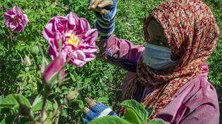 Dans la région de Kelaat Mgouna dans l'Atlas marocain, la Vallée des roses est le troisième producteur mondial de roses à parfum. (FADEL SENNA / AFP)