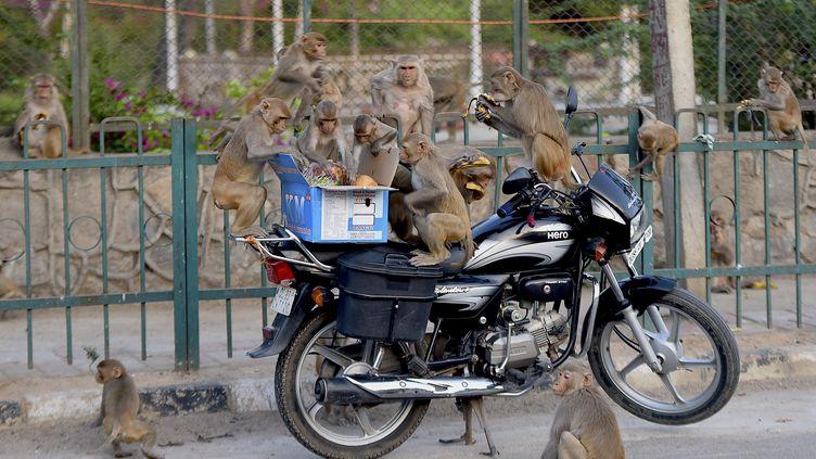 Avec le confinement imposé en Inde, des cohortes de macaques – problème endémique à New Delhi – investissent désormais les bureaux déserts de la capitale. (MONEY SHARMA / AFP)