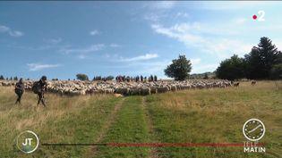 Des moutons en transhumance. (France 2)