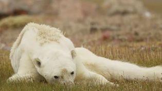 Capture d'écran de la vidéo, publiée le 5 décembre 2017, filmée par le photographe animalier Paul Nicklen et son équipe de l'ONG SeaLegacy dans le nord du Canada, montrant un ours polaire décharné. (NATIONAL GEOGRAPHIC)