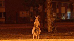 Un kangourou près des incendies en Australie, le 31 décembre 2019. (SAEED KHAN / AFP)
