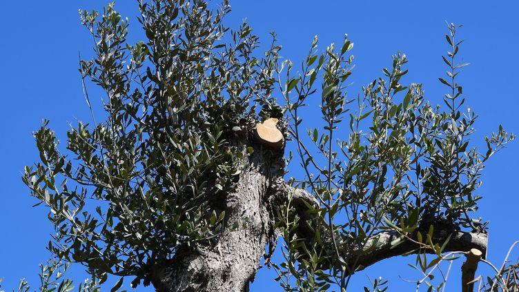 Un olivier contaminé par la bactérieXylella fastidiosa, dans la région de Salento, le 20 avril 2018. (VINCENZO PINTO / AFP)