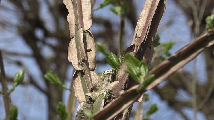 Les belles ailettes de liège du fusain de Chine (Euonymus phellomanus). (ISABELLE MORAND / RADIO FRANCE / FRANCE INFO)
