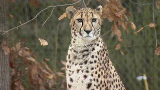 Unguépard au parc animalier de Peaugres, en Ardèche.    (CAPTURE D'ÉCRAN FRANCE 3)