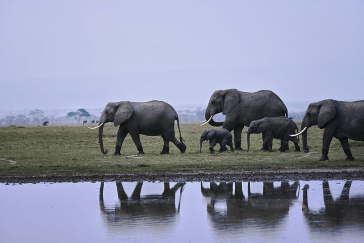 Des éléphants marchent le long de l'un des lacs saisonniers dans le parc national d'Amboseli, au Kenya, le 12 août 2020. (TONY KARUMBA / AFP)