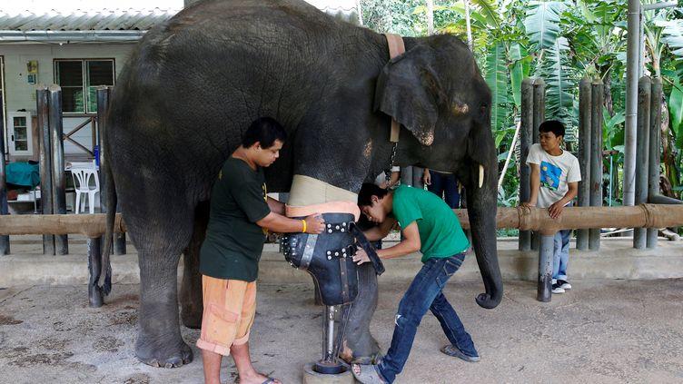 L'éléphante Mosha, blessée par une mineil y a une dizaine d'années, reçoit sa neuvième prothèse, le 29 juin 2016 à Lampang(Thaïlande).  (ATHIT PERAWONGMETHA / REUTERS)