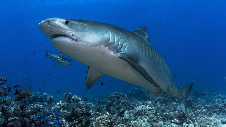 Un requin tigre. Photo d'illustration (CYRILLE MULARD / AFP)