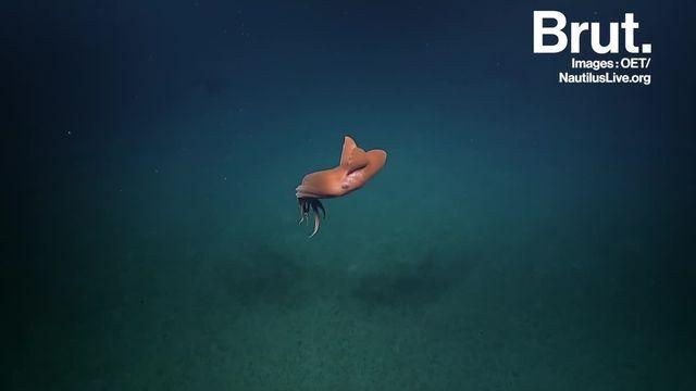 Cet octopode cousin de la pieuvre est capable de gonfler comme un chapiteau. Selon les scientifiques, cette technique lui permet d'échapper aux prédateurs.