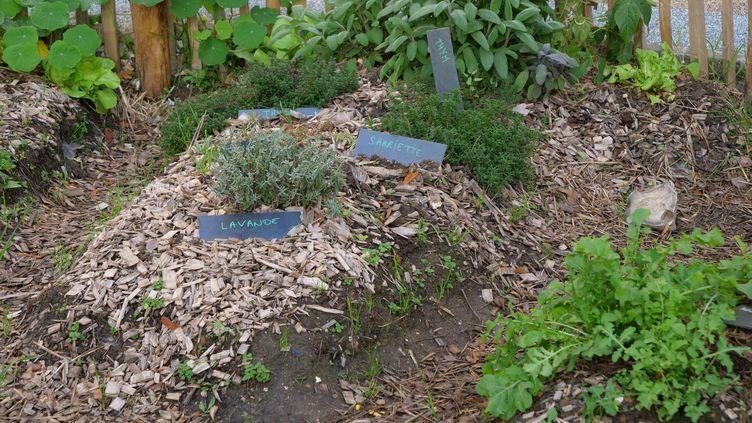 Plantées à l'automne, les aromatiques ont le temps de bien s'enraciner avant l'hiver. (ISABELLE MORAND / RADIO FRANCE / FRANCE INFO)