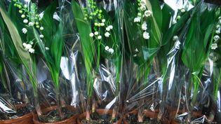 Des bouquets de muguet préparés pour la fête du travail, le 1er mai 2012, dans une serre près de Nantes (Loire-Atlantique). (ANTOINE LORGNIER / AFP)