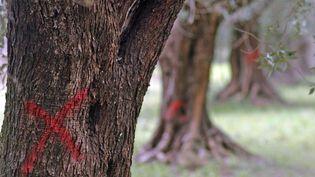 """Des oliviers infectés par la bactérie """"Xylella fastidiosa"""" à Brindisi (Italie) sont en attente d'être abattus, le 24 mars 2015. (MAX FRIGIONE / AP / SIPA)"""