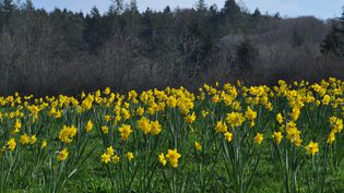 Champ de jonquilles au printemps, dansle Devon en Angleterre. (GETTY IMAGES)