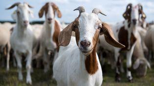 Pour en arriver à cette conclusion, l'équipe de chercheurs de l'Université Queen Mary de Londres (Royaume-Uni) a observé le comportement de 20 chèvres face à des images de visages humains. (SVEN HOPPE / DPA / AFP)