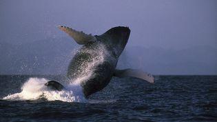 Une baleine à bosse, le 25 septembre 2016. (LEEMAGE / AFP)