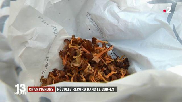 Champignons : récolte record dans le Sud-Est !