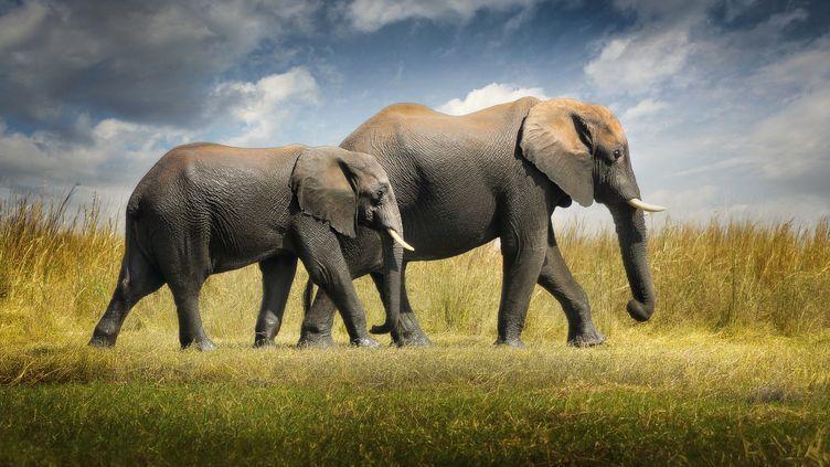 Deux éléphants dans la réserve de Chobe au Bostwana. (ALBERTO GHIZZI PANIZZA / BIOSPHOTO)