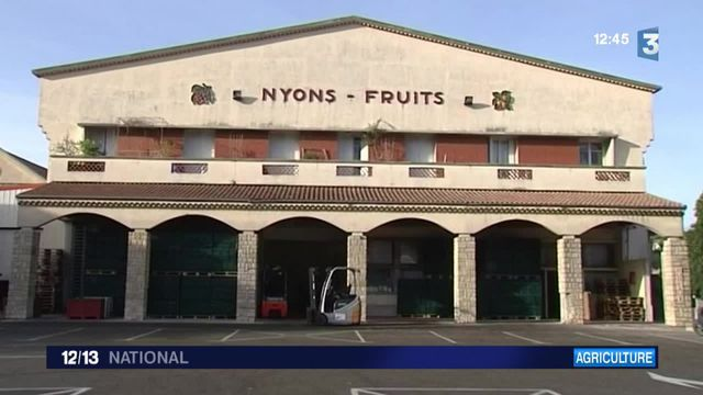 La récolte de l'olive de Nyons a commencé