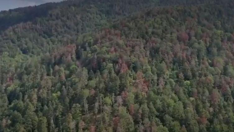 Dans les Vosges, un phénomène inquiétant touche les sapins. Plus d'un million de mètres cubes de forêt sont déjà impactés par la sécheresse. (FRANCE 2)