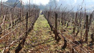 Un ouvrier taille la vigne dans une parcelle du domaine Emmanuel Giboulot, cultivée en biodynamie, à Beaune (Côte-d'Or)le 12 février 2015. (BENOIT ZAGDOUN / FRANCETV INFO)