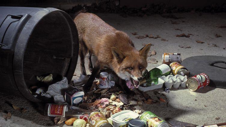 Un renard fouille dans une poubelle. (STEPHEN DALTON / MAXPPP)