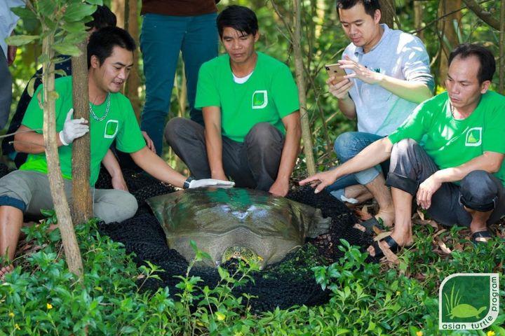 La tortue identifiée au Vietnam est relâchée peu après sa capture, le 22 octobre 2020. (ATP IMC)
