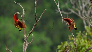 Des oiseaux de paradis. (BBC)