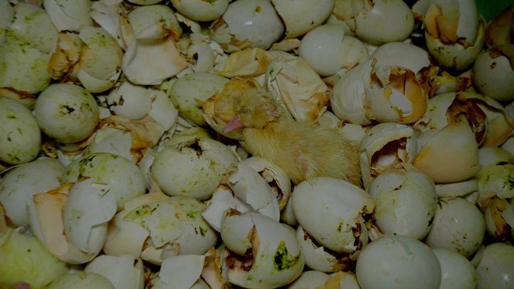 Des œufs et des canetons à la poubelle. (ASSOCIATION L214)