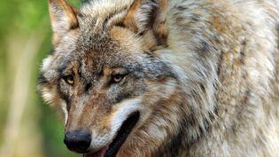 Un jeune loup (illustration). (INGO WAGNER / DPA / AFP)