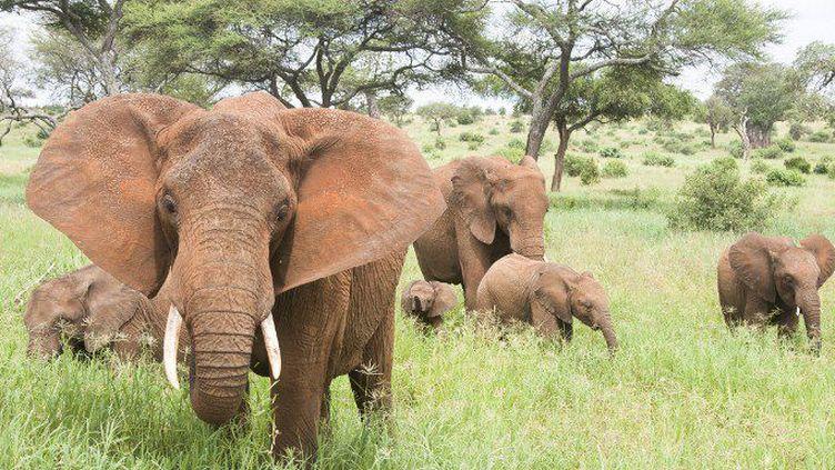 Le parc national de Serengeti en Tanzanie, l'un des sanctuaires des élephants sauvages en Afrique. (Photo AFP)