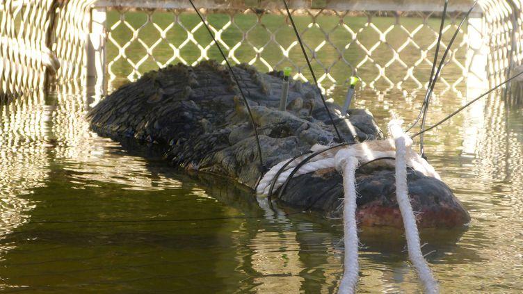 Un crocodile de 600 kg a été capturé en Australie, le 9juillet2018. (NORTHERN TERRITORY PARKS AND WIL/AFP)