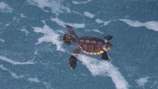 Et voilà ! C'est la mise à l'eau et le début d'une nouvelle vie pour les bébés tortues. La tâche va être rude : en moyenne, seule une tortue marine sur 1 000, atteint l'âge adulte. (JOE RAEDLE / GETTY IMAGES NORTH AMERICA / AFP)