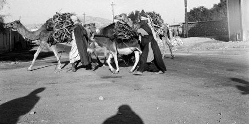 Des hommes transportant du bois de chauffage sur des chameaux dans le sud de l'Algérie en 1951. Ce pays était alors une colonie française. (AFP - Henri Elwing)