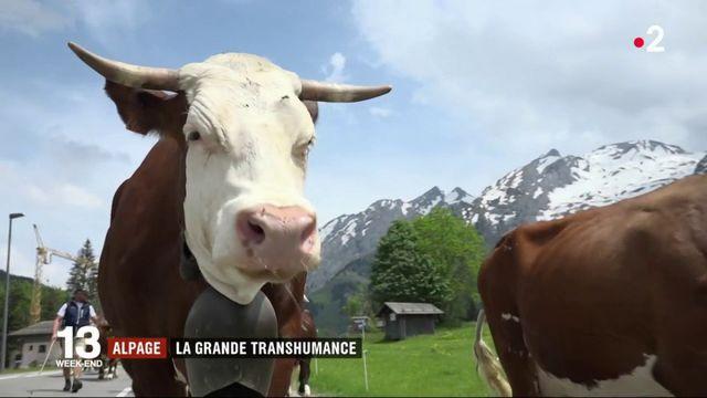 Haute-Savoie : transhumance vers les alpages