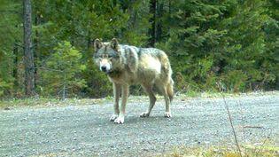 Le loup OR-7, photographié le 3 mai 2014 dans les Cascade Mountains (Etats-Unis). (AP / SIPA)