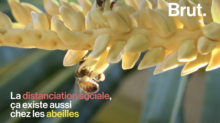 VIDEO. La distanciation sociale, ça existe aussi chez les abeilles (BRUT)