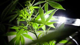 Photo d'illustration de culture de plants de cannabis a domicile. (AURELIEN MORISSARD / MAXPPP)