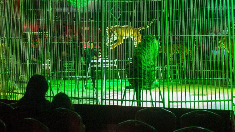 Des tigres dans un spectacle de cirque à Toulouse, le 12 mai 2019. (FR?D?RIC SCHEIBER / HANS LUCAS / AFP)