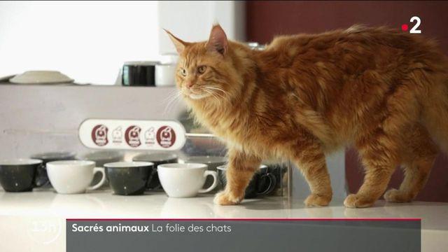 Asie : la folie autour des chats