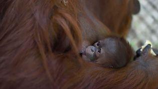 Un bébé orang-outan est né le 17 octobre, à la ménagerie du Jardin des plantes, à Paris. (F-G GRANDIN / MNHN)