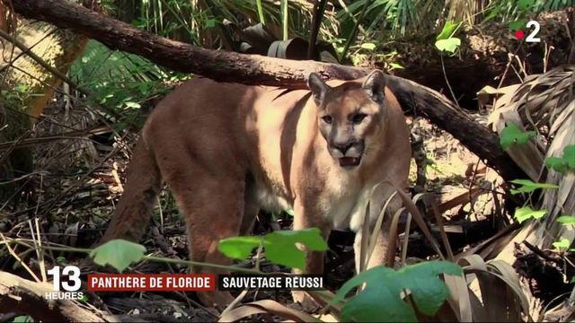 États-Unis : menacée d'extinction, la panthère de Floride a été réintroduite avec succès