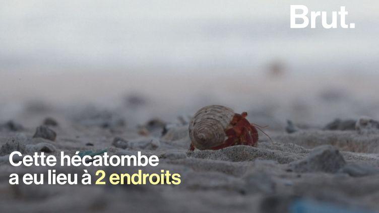VIDEO. Plus d'un demi-million de bernard-l'hermites tués par le plastique (BRUT)