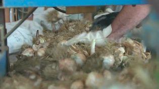 Dans le Tarn, la récolte de l'ail rose a débuté. Les agriculteurs n'ont que l'embarras du choix pour recruter des saisonniers. (CAPTURE D'ÉCRAN FRANCE 3)