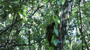 Le feuilleton du 13 Heures de France 2 s'intéresse cette semaine au travail caché derrière la gousse de vanille, à Madagascar. (France 2)