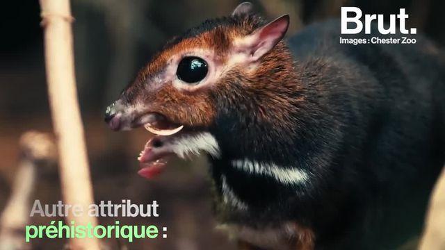brut : cerf-souris (100000)