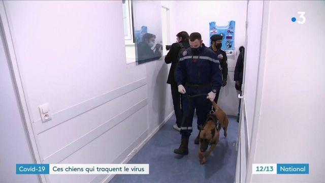 Covid-19 : des chiens entraînés à détecter le virus
