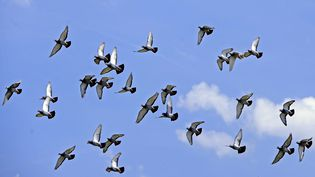 Des pigeons voyageurs élevés à Fareins, dans l'Ain, photographiés en juin 2011. (MAXPPP)